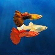我的孔雀鱼  v1.2